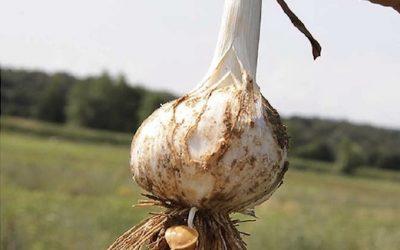 Scopri l'aglione della Valdichiana