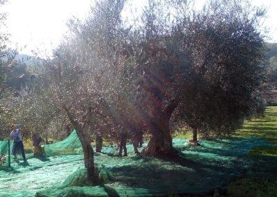 Raccolta olive Podere La Doccia